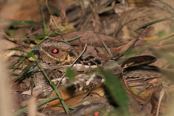 Tailed Nightjar Large-tailed Nightjar Photo