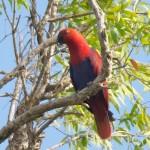 Eclectus Parrot Female - photo Jun Matsui
