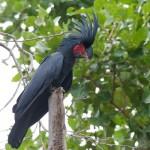 Palm Cockatoo - photo Jun Matsui