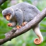 Spotted Cuscus - photo Jun Matsui