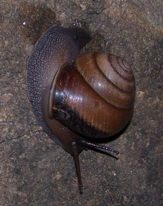 Snail at Portland Roads