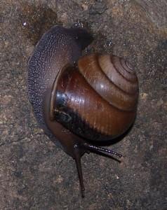 Snail at Portland Roads