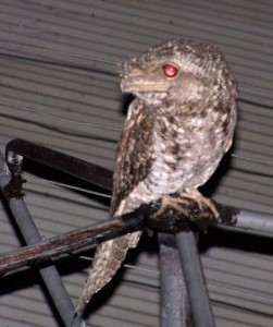 Papuan Frogmouth at Portland Roads