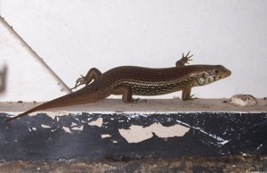 Major Skink, Portland Roads, Cape York