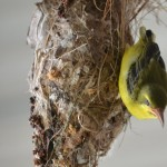 baby sunbird almost falling out of the nest - closer view