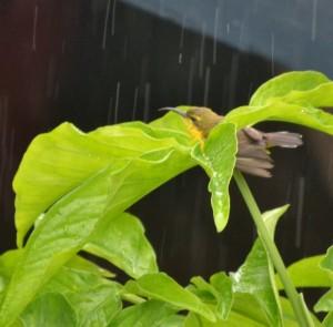 frolicking sunbird